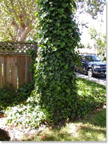 Don T Let Your Tree Look Like This Once Elished Ivy Can Be Difficult To Remove