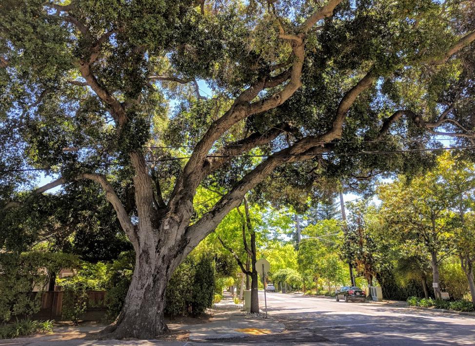 Coast live oak in Palo Alto, photo by Galyna Vakulenko